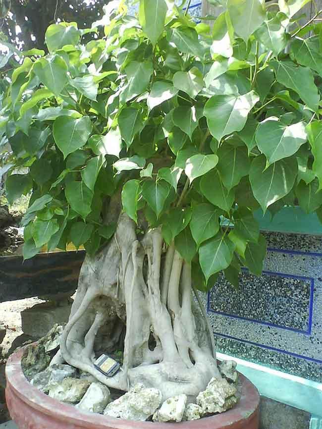 Công đức - Cung tiến cây bồ đề vào chùa