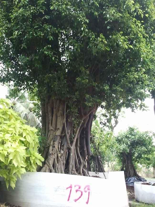Công đức - Cung tiến cây vào chùa